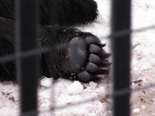 クマの手?、足?